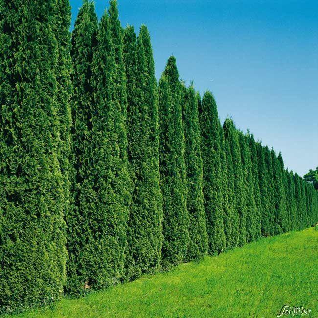 Lebensbaum 'Smaragd' - 100 Pflanzen 40 - 60 cm hoch für 25 Meter Hecke