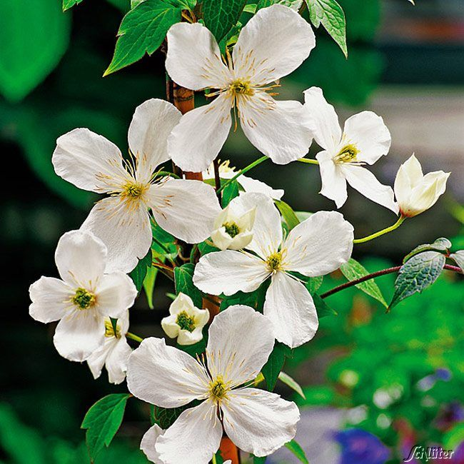 Clematis 'Grandiflora'