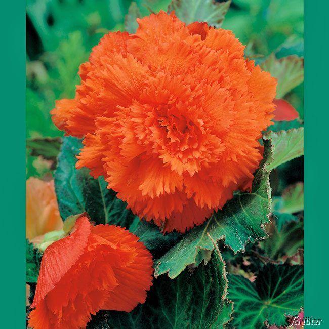 Gefranste-Begonie 'Fimbriata Orange' - 3 Stück