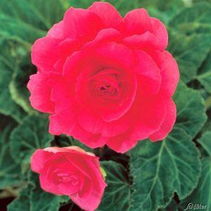 Riesenblütige Begonie 'Grandiflora Rosa' - 3 Stück