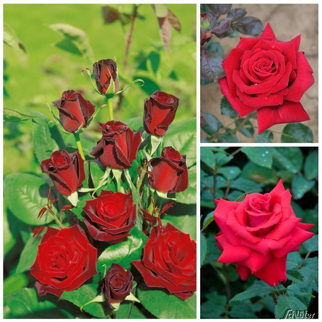 Rotes Rosen-Set 'Red Carpet Roses' - 3 Stück
