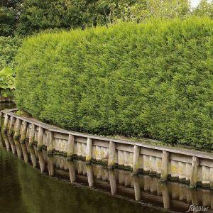 Lebensbaum - Thuja 'Brabant'