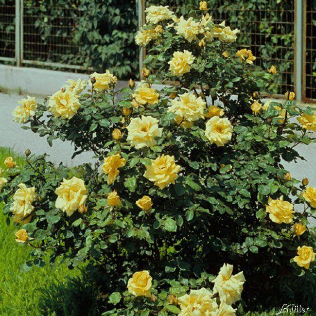 Strauchrose 'Frühlingsgold'
