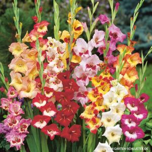 Gladiole 'Butterfly Mischung' - 10 Stück
