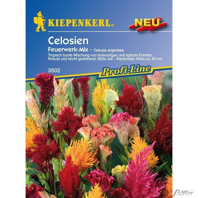Celosien 'Feuerwerk-Mix'