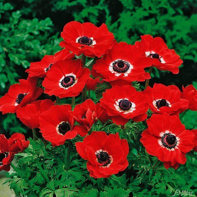 Garten-Anemone 'Hollandia' - 15 Stück