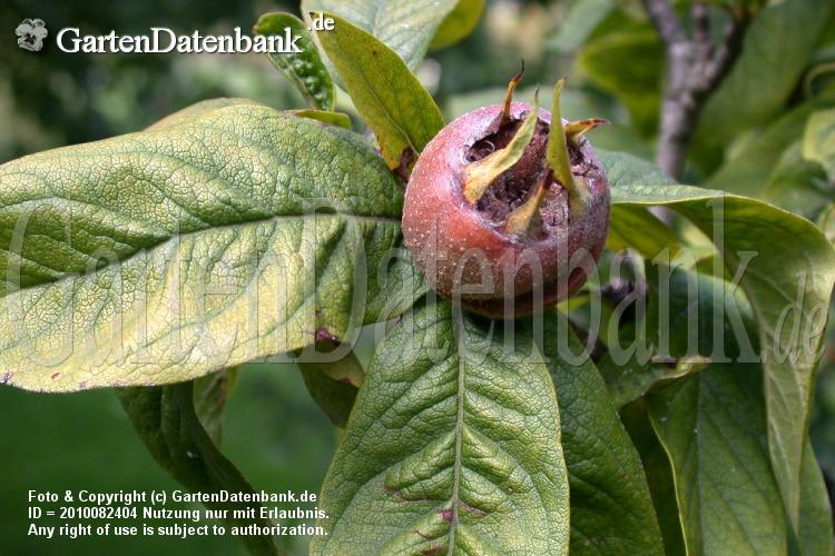 Mispelfrucht