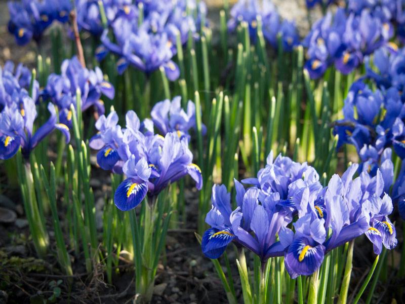 Iris blühe