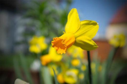 Märzenbecher gelb