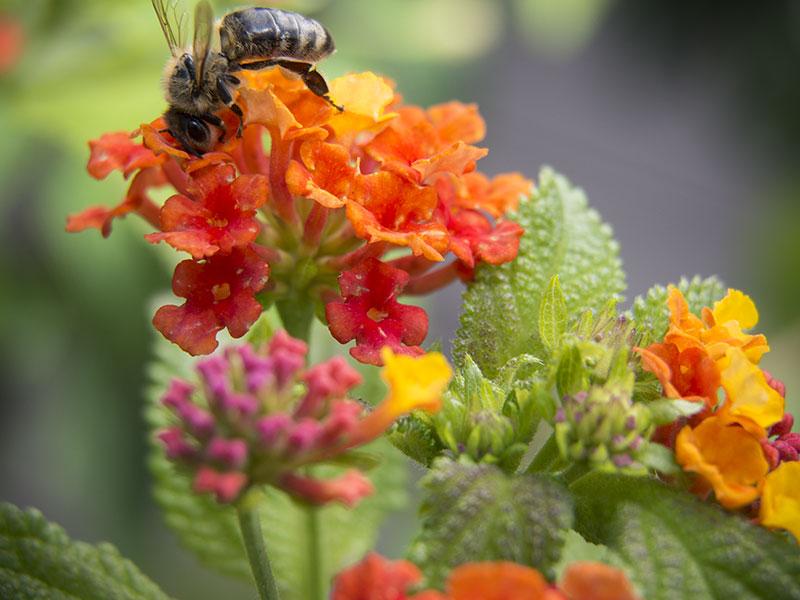 Wandelröschen und eine Biene