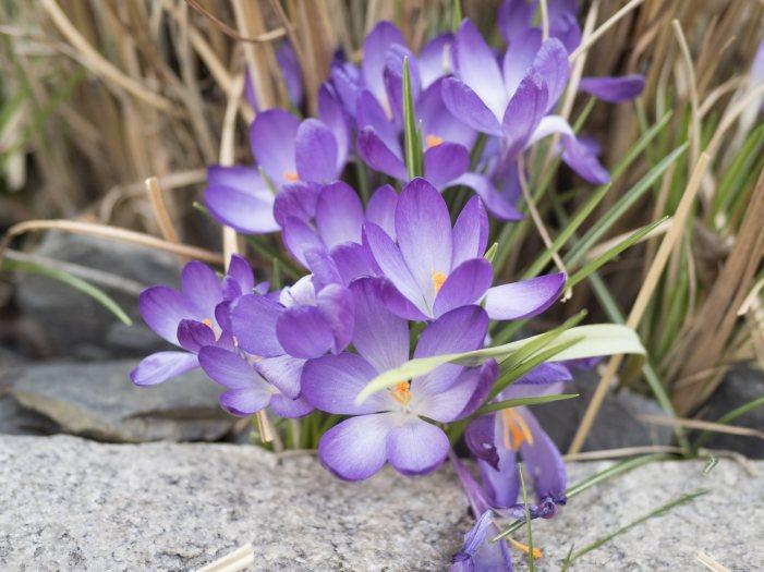 Fruehling-da-alles-blueht-Burgenland-2018-04