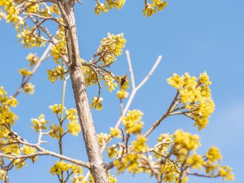 Bienenfreundliche Sträucher: Kornelkirsche-Dirndl