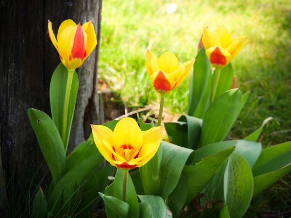 Tulpen-blühen-03-2020-02