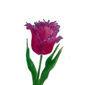 Crispa Tulpe - Tulipa Gorilla