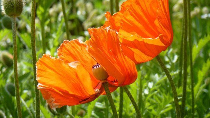 Kuchenruckwand Glas Rote Mohnblumen Dimex Line De