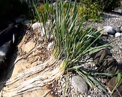 koiteich gartenteich pflanzenfilter schilf