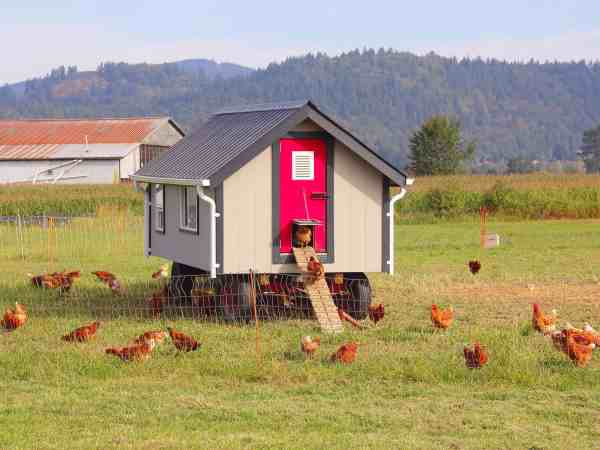 44294223 – a posh coop complete with awnings and windows is home for a brood of chickens.