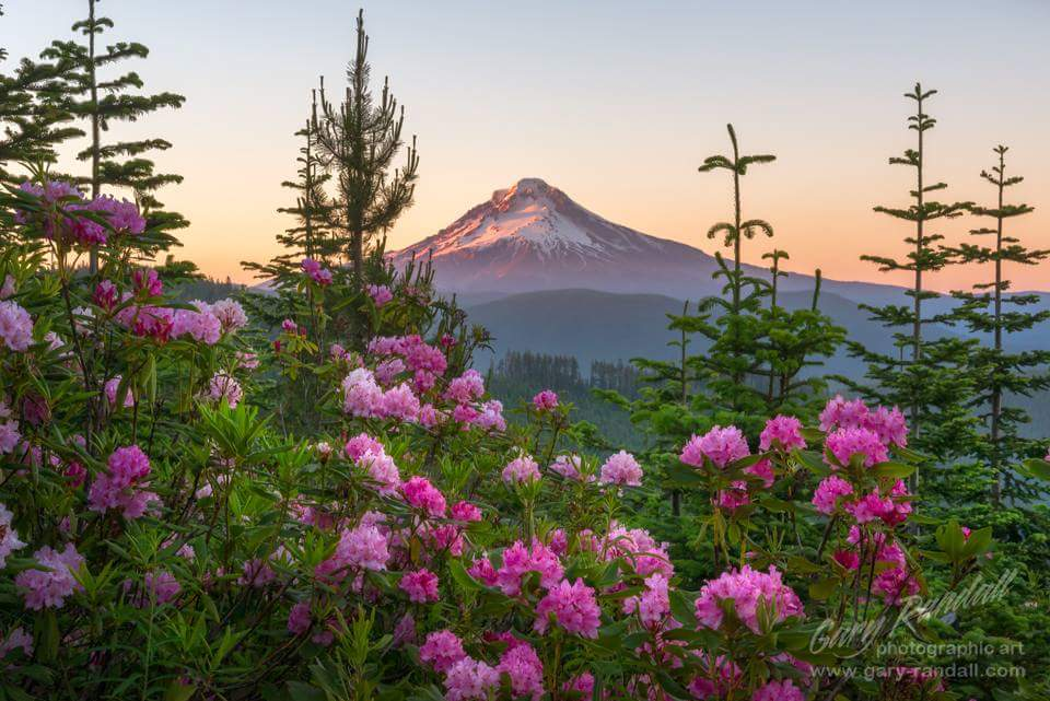 Rhododendrons in Oregon