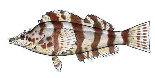 Painted Greenling color sketch.