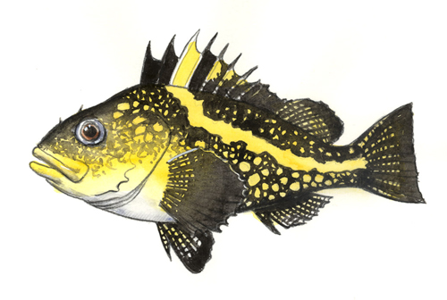 Color sketch of a China Rockfish.
