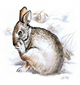 Wild Rabbit color sketch.