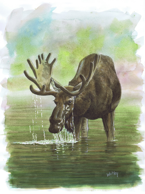 Moose. Watercolor by Gary Whitley.