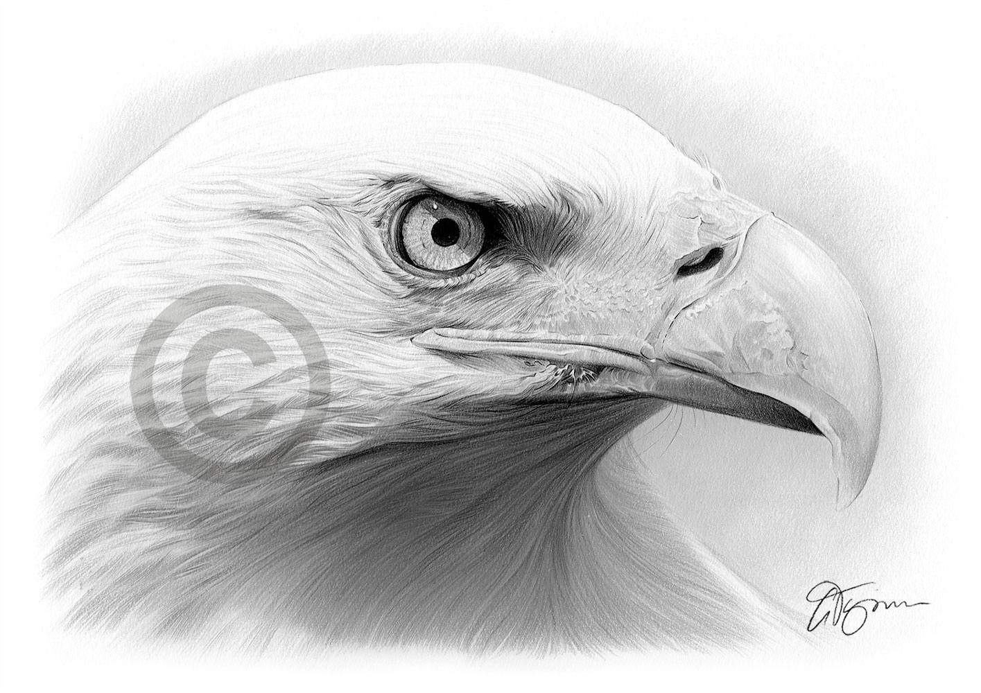 BALD EAGLE pencil drawing art print A4 / A3 signed by UK ...