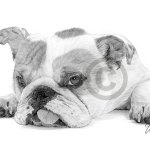 English Bulldog Puppy Dog Pencil Drawing Artwork A4 Size By Uk Artist Ebay