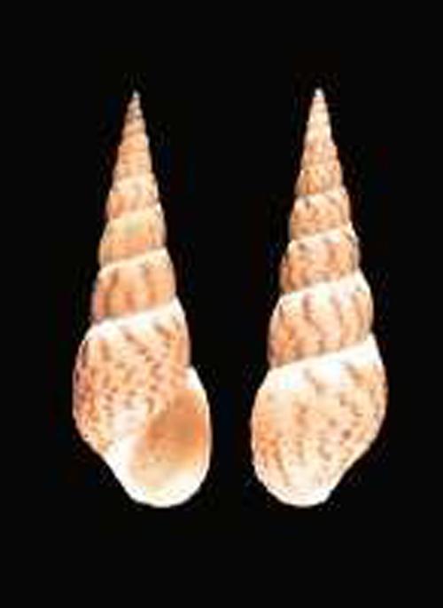 Melanoides tuberculatus: nessuno la vuole ma tutti ce l'hanno!