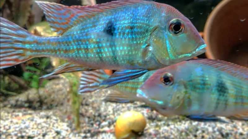 GEOPHAGUS BRACHYBRANCUS – RED HEAD TAPAJOS