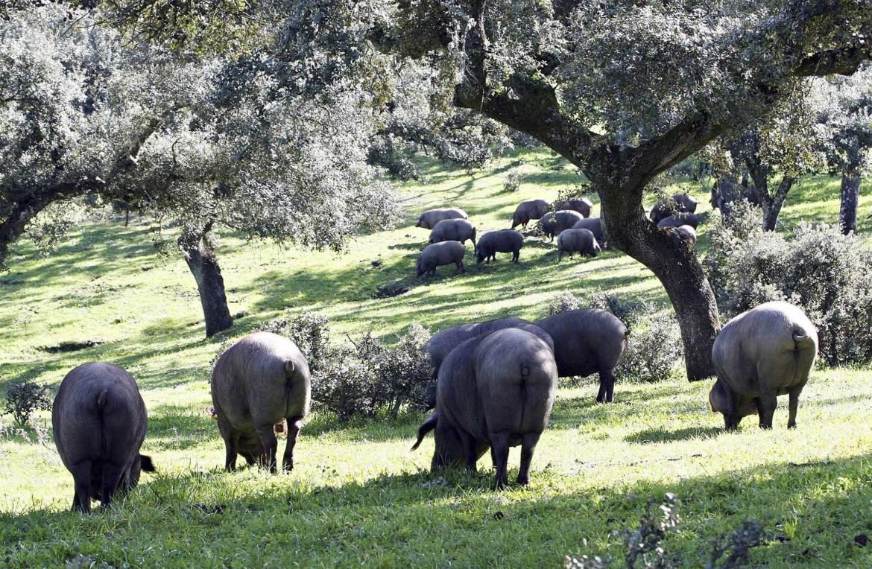 Cerdo iberico montanera bellotas