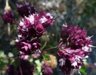 Fleurs d'origan vulgaire