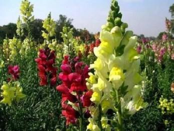 Fleurs de muflier