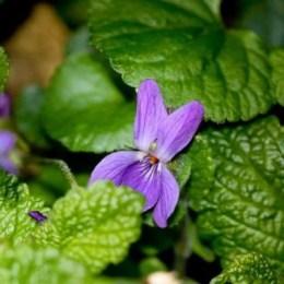Une violette