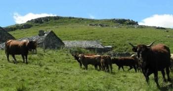 Élevage en Auvergne