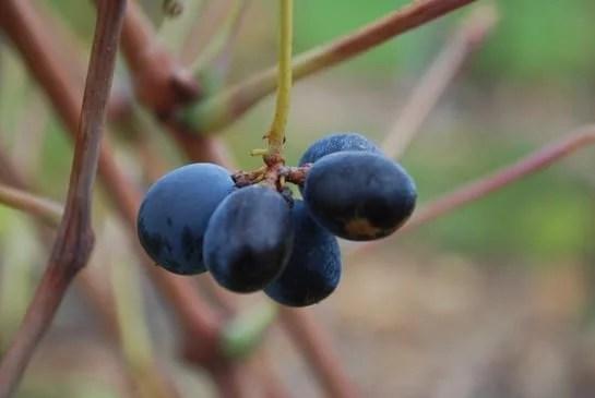 Raisins de cépage gamay noir à jus blanc