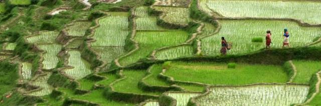 Rizières en espaliers au Népal