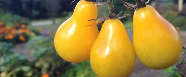 Tomates poire jaune