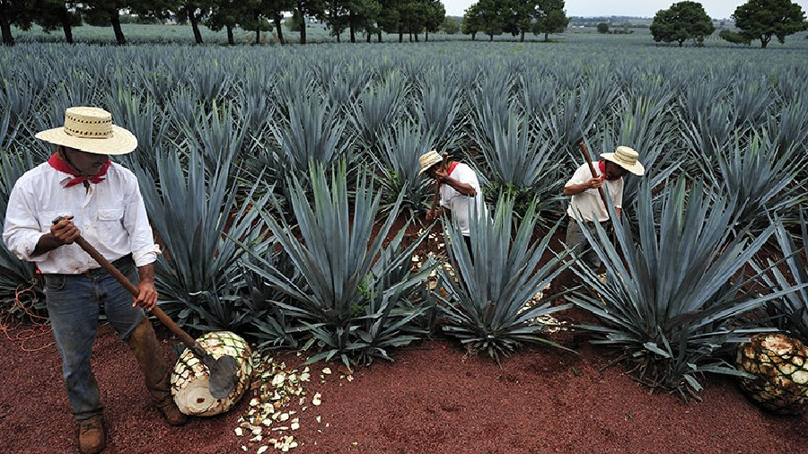 Récolte de l'agave à Jalisco