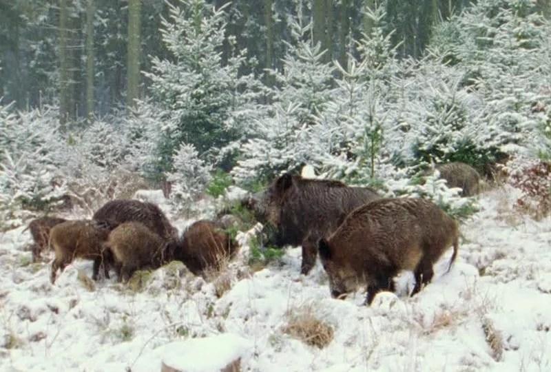 Troupeau de sangliers dans la neige