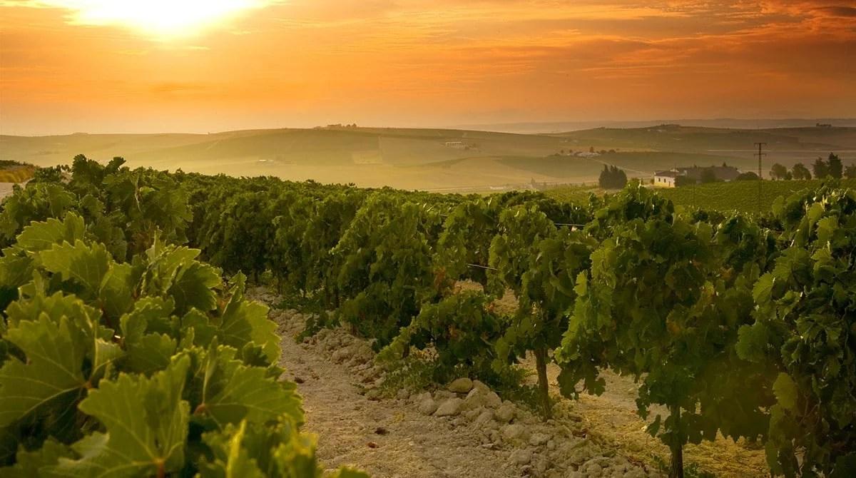 Vignoble de Jerez