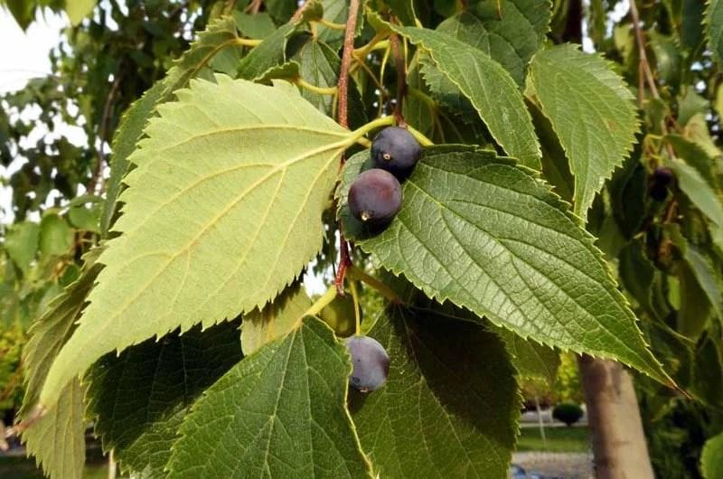 Feuillage et fruits du micocoulier