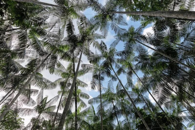 Canopée de palmiers açaï