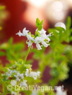 Albahaca de hoja fina en flor
