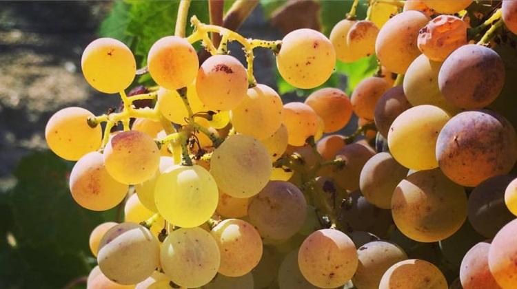 ruth lewandowksi grapes