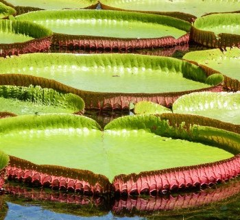 Amazon Lily pads in Pamplemousses Gardens