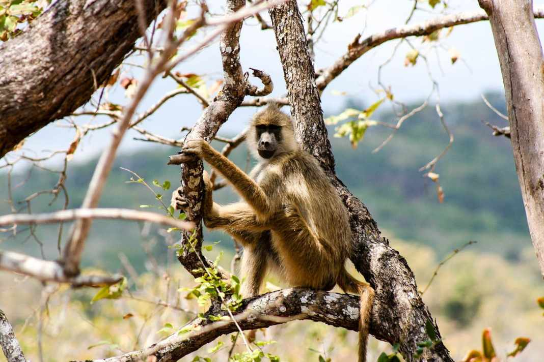 Safari travel guide for the Kruger National Park - #southafrica #travelblogger #travel #blogpost #safari #animals #nature #wildlife #adventure #bushbreaks #outdoors #safariguide #africa #camping #luxury #game #monley #baboon