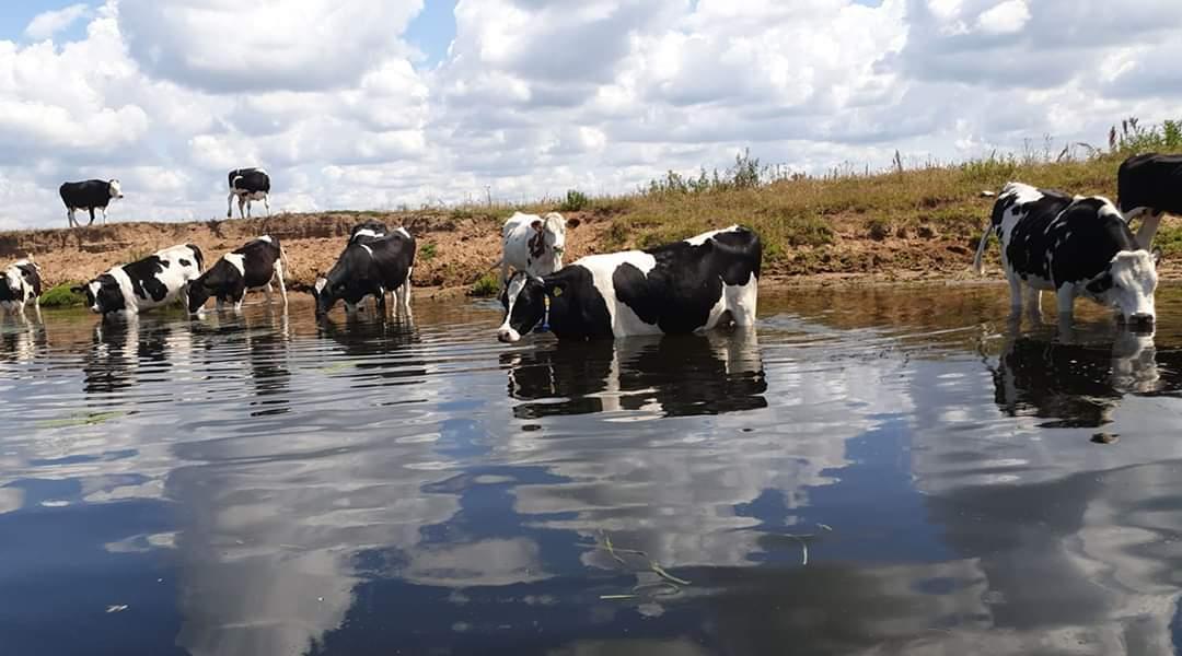 Koeien aan de Vecht oever