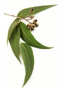 Eucalyptus Eucalyptus radiata