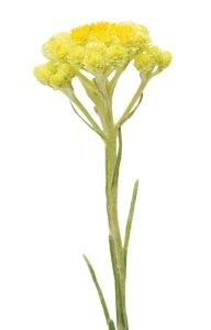 Helichrysum Helichrysum italicum
